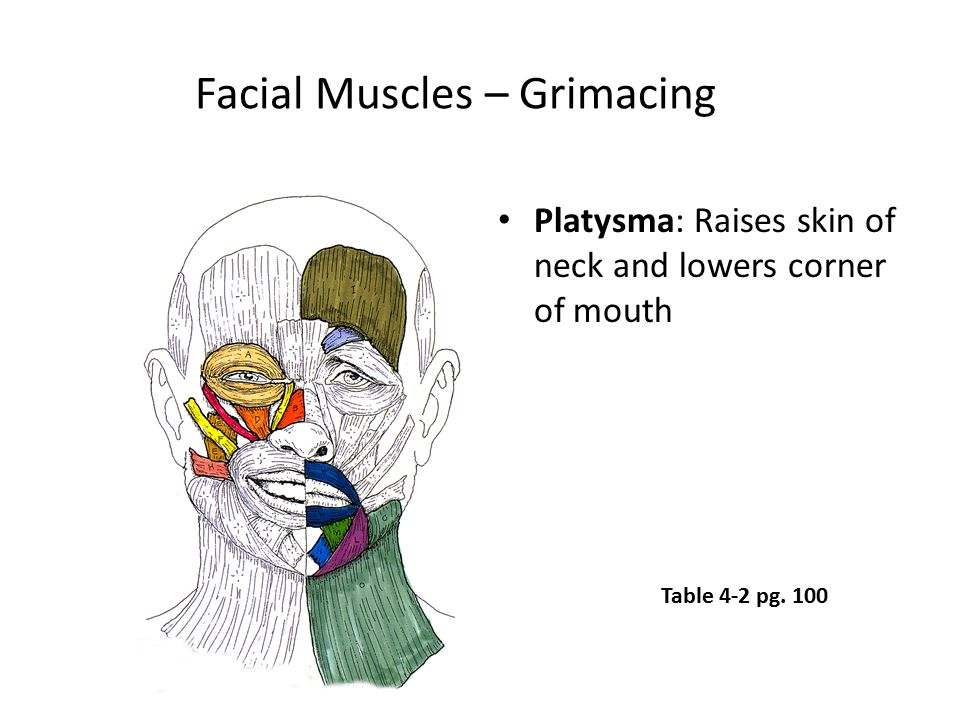 Facial Muscles – Grimacing Platysma: Raises skin of neck and lowers corner of mouth Table 4-2 pg. 100