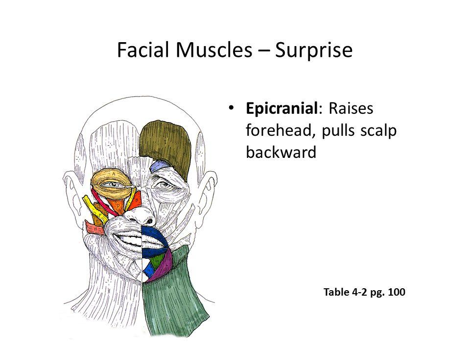 Facial Muscles – Surprise Epicranial: Raises forehead, pulls scalp backward Table 4-2 pg. 100