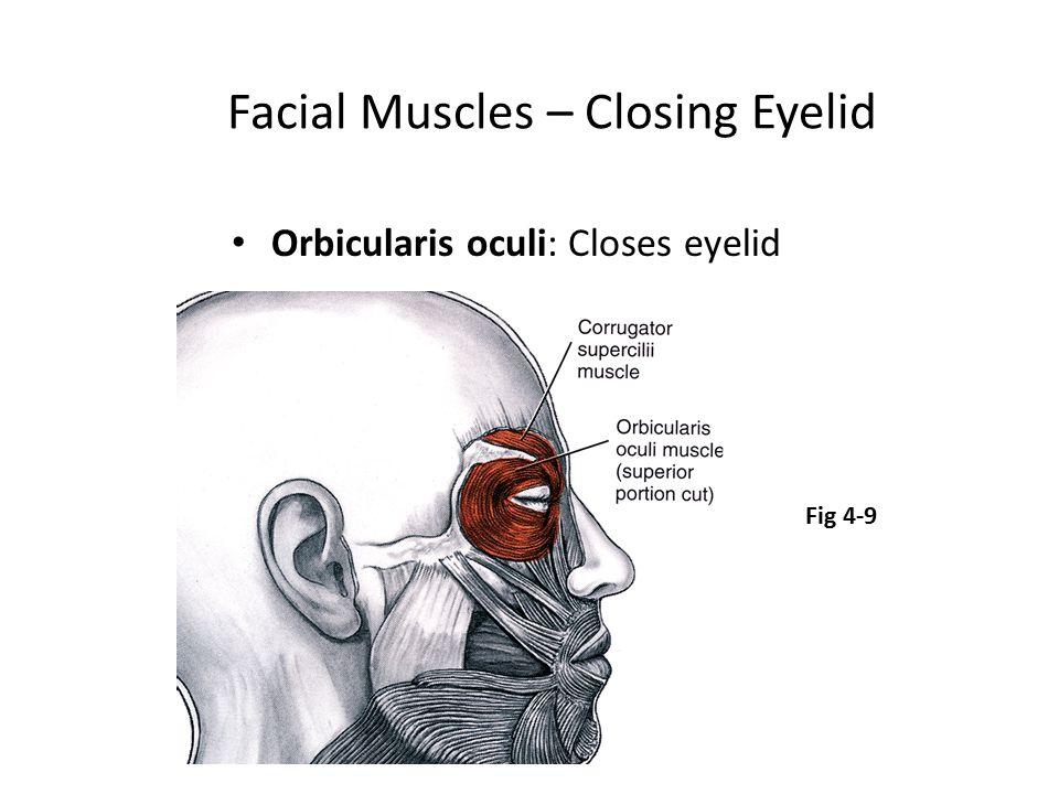 Facial Muscles – Closing Eyelid Orbicularis oculi: Closes eyelid Fig 4-9