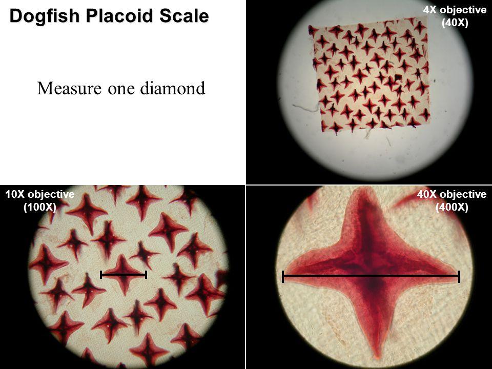 Dogfish Placoid Scale 4X objective (40X) 10X objective (100X) 40X objective (400X) Measure one diamond