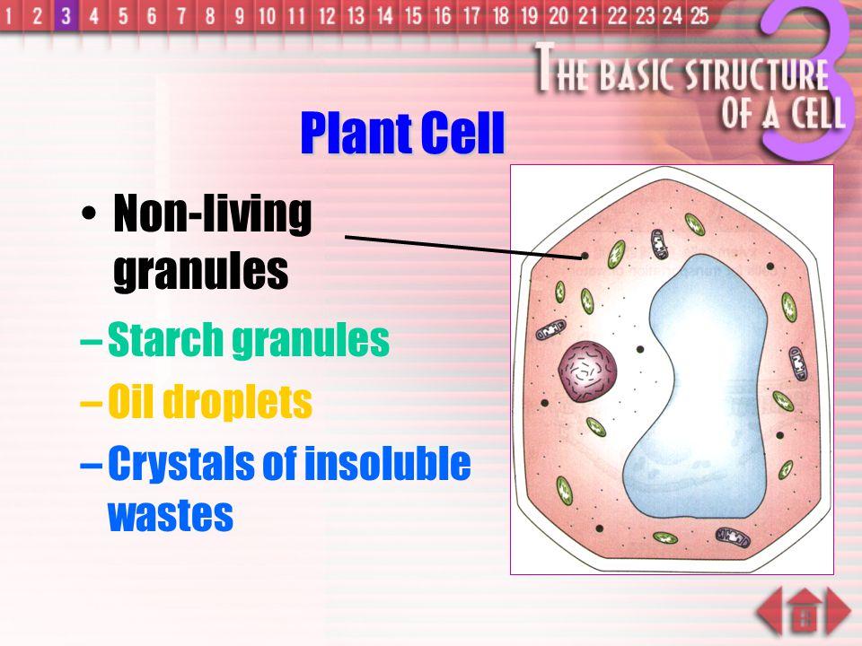 –Active cells ( eg. sperms, liver cells) have more mitochondria Plant Cell Mitochondrion ( mitochondria )