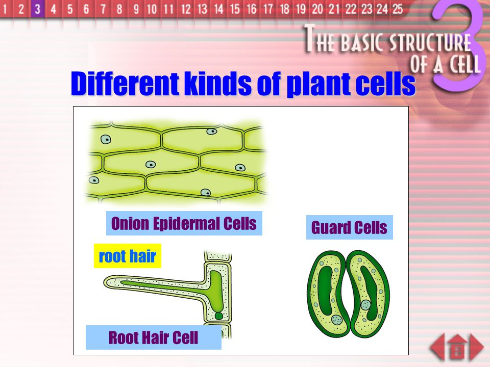 –Each cell has fixed number of chromosomes Chromosomes carry genes –genes control cell characteristics Nucleus Plant Cell