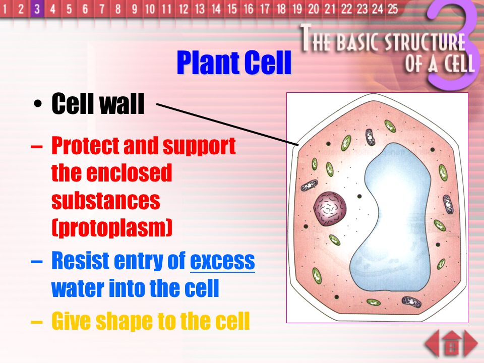 –Made of cellulose which forms very thin fibres –Strong and rigid –In plant cells only Cell wall