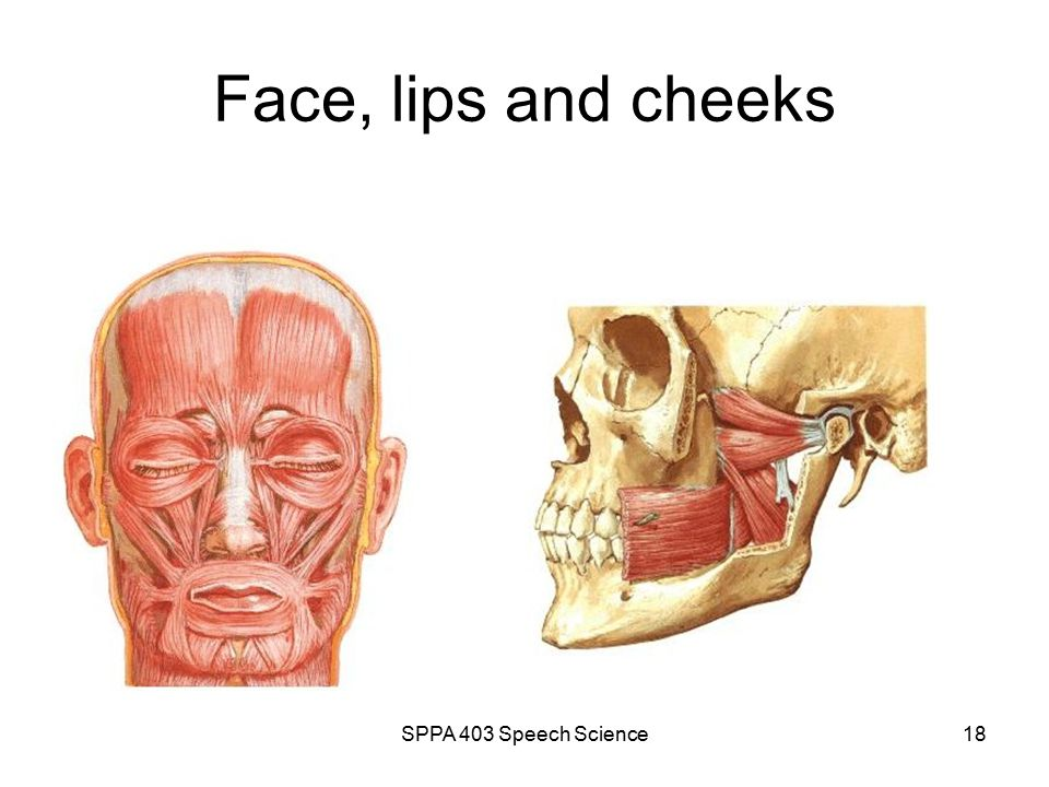 SPPA 403 Speech Science17 Tongue