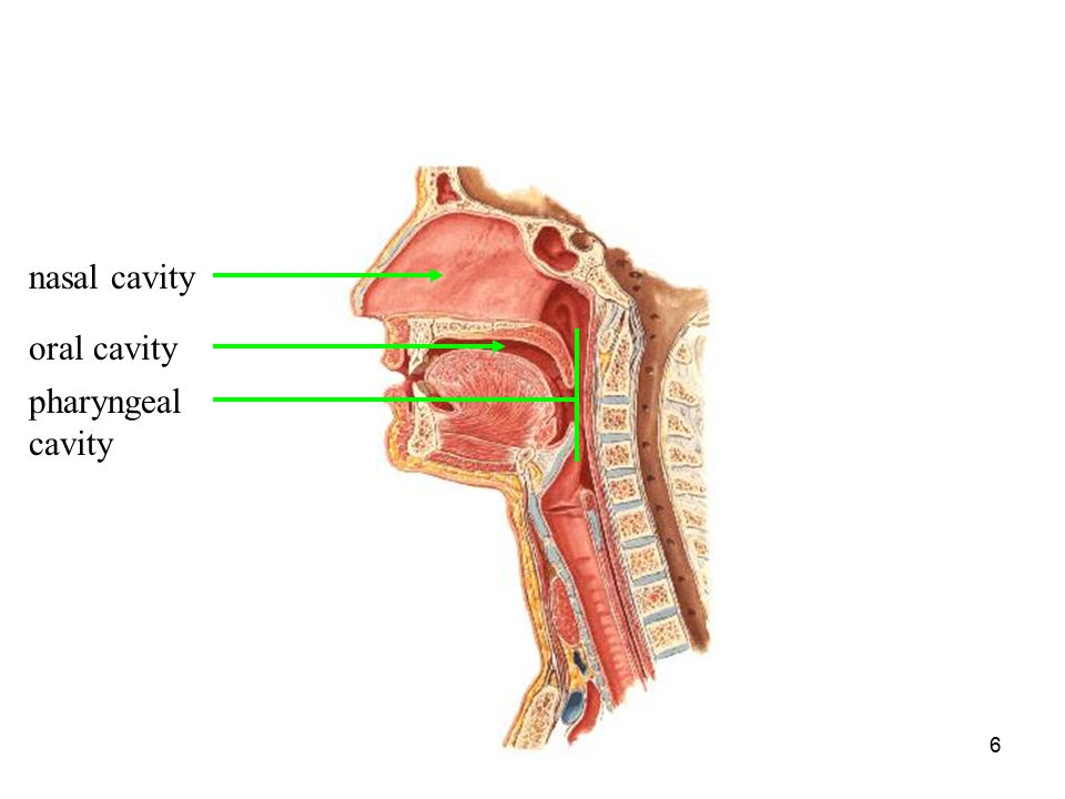 SPPA 403 Speech Science5 Oral Nasal Pharyngeal (Buccal)-cavity between the teeth and cheek Supraglottal Cavities