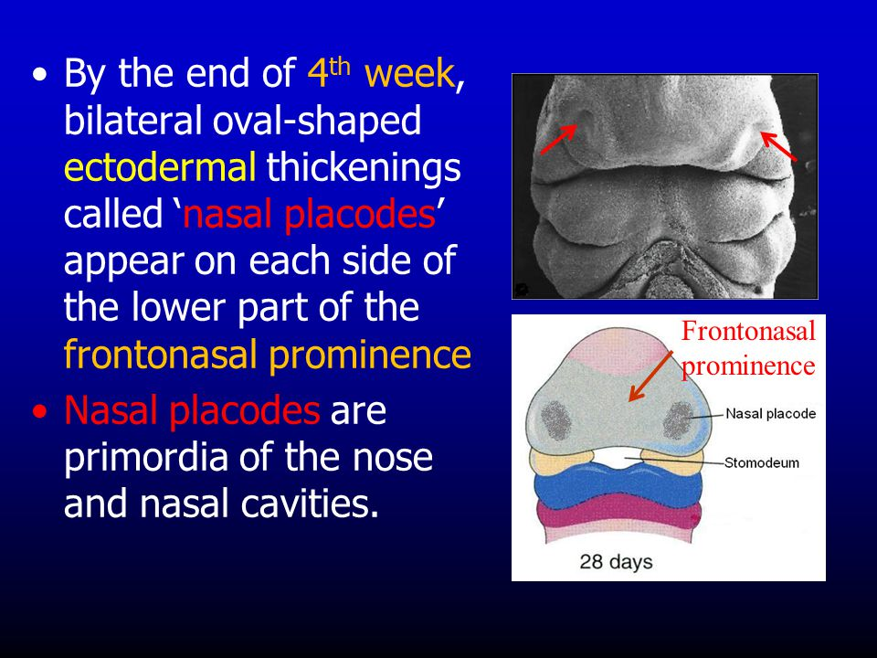 By the end of 4 th week, bilateral oval-shaped ectodermal thickenings called 'nasal placodes' appear on each side of the lower part of the frontonasal