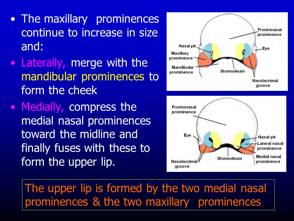 The maxillary prominences continue to increase in size and: Laterally, merge with the mandibular prominences to form the cheek Medially, compress the
