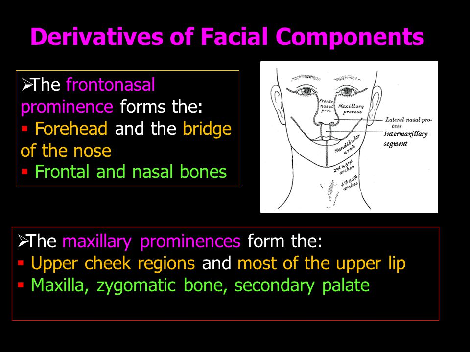  The frontonasal prominence forms the:  Forehead and the bridge of the nose  Frontal and nasal bones  The maxillary prominences form the:  Upper