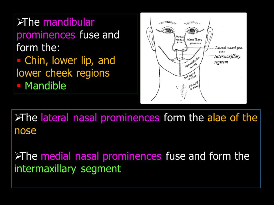  The mandibular prominences fuse and form the:  Chin, lower lip, and lower cheek regions  Mandible  The lateral nasal prominences form the alae of