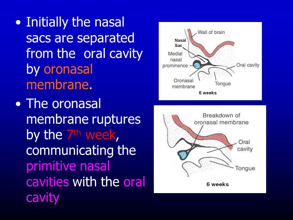 Initially the nasal sacs are separated from the oral cavity by oronasal membrane. The oronasal membrane ruptures by the 7 th week, communicating the p