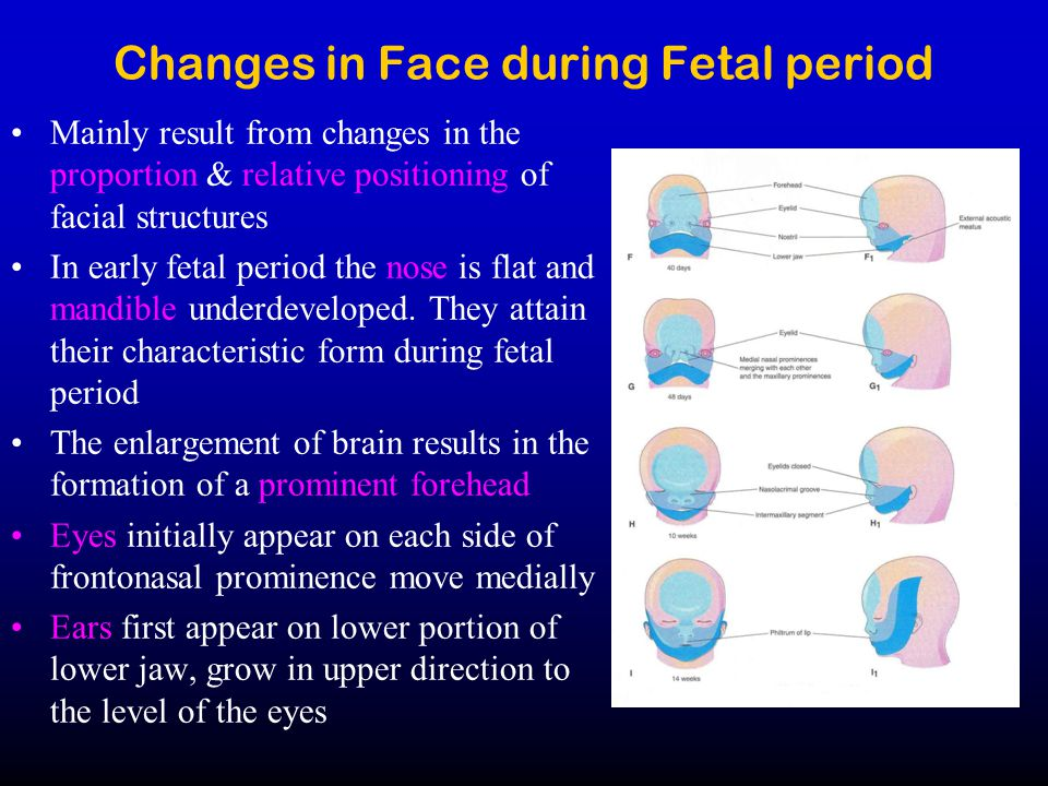 Changes in Face during Fetal period Mainly result from changes in the proportion & relative positioning of facial structures In early fetal period the