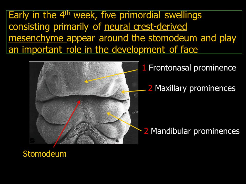 Early in the 4 th week, five primordial swellings consisting primarily of neural crest-derived mesenchyme appear around the stomodeum and play an impo
