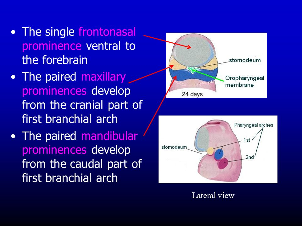 The single frontonasal prominence ventral to the forebrain The paired maxillary prominences develop from the cranial part of first branchial arch The