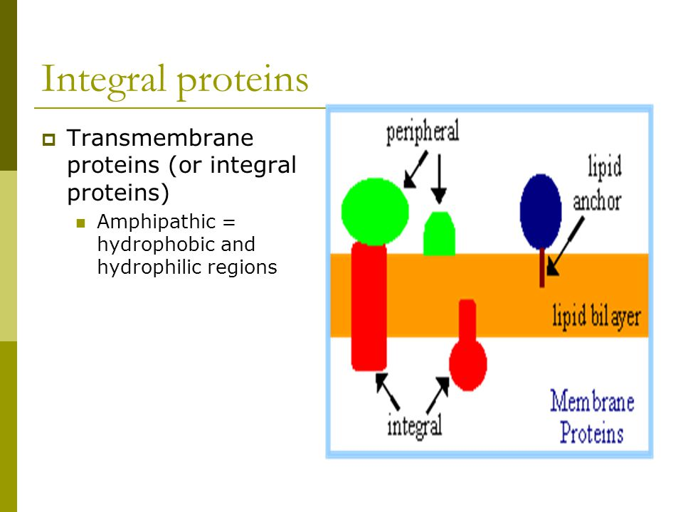 Integral proteins  Transmembrane proteins (or integral proteins) Amphipathic = hydrophobic and hydrophilic regions