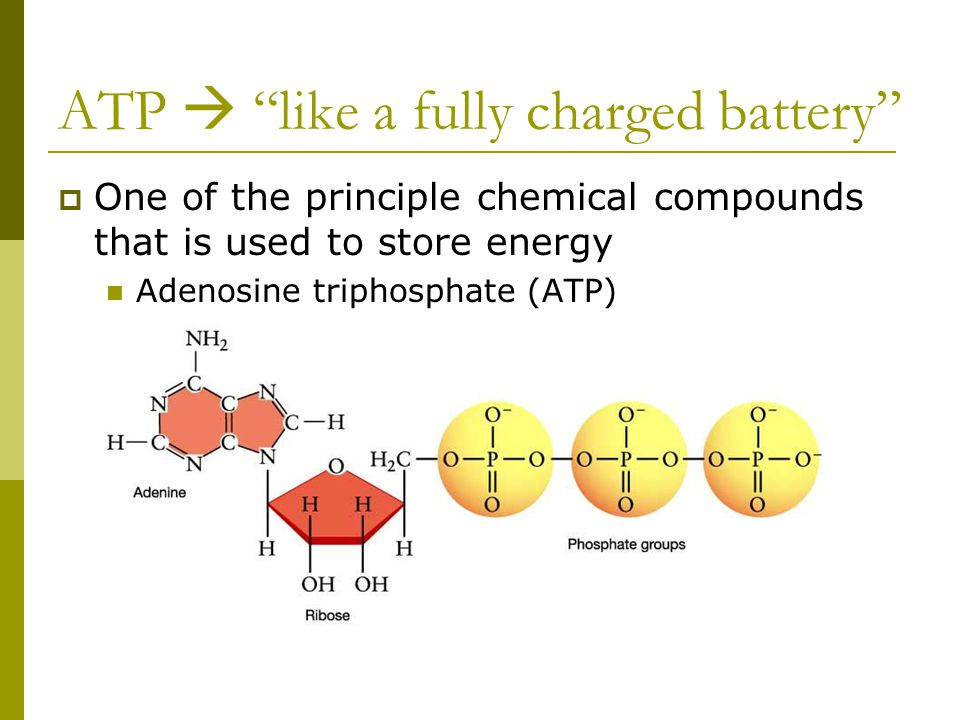 """ATP  """"like a fully charged battery""""  One of the principle chemical compounds that is used to store energy Adenosine triphosphate (ATP)"""