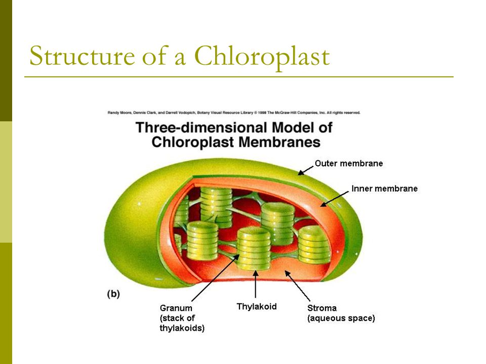 Structure of a Chloroplast