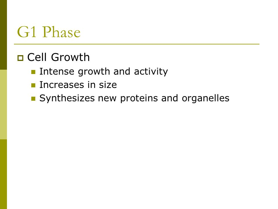G1 Phase  Cell Growth Intense growth and activity Increases in size Synthesizes new proteins and organelles