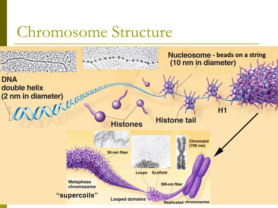 "Chromosome Structure ""supercoils"""