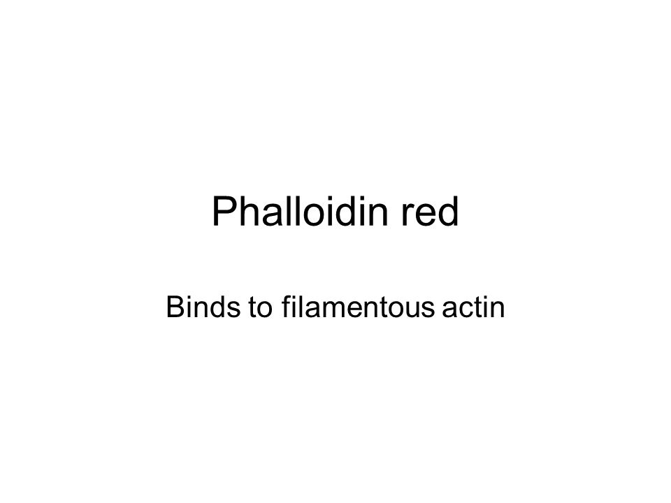 Phalloidin red Binds to filamentous actin