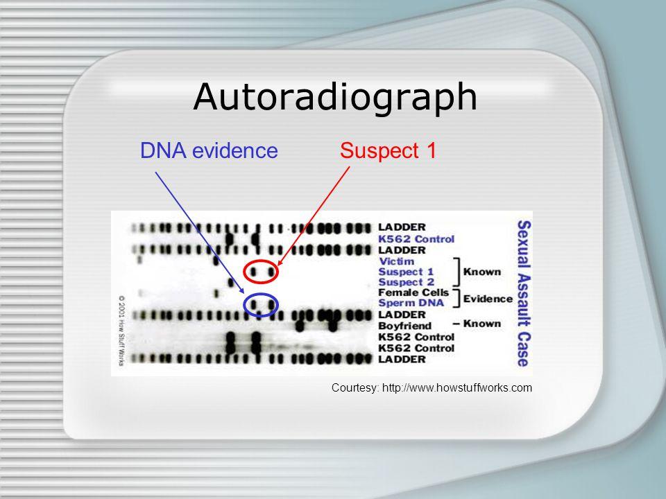 Autoradiograph Courtesy: http://www.howstuffworks.com DNA evidenceSuspect 1