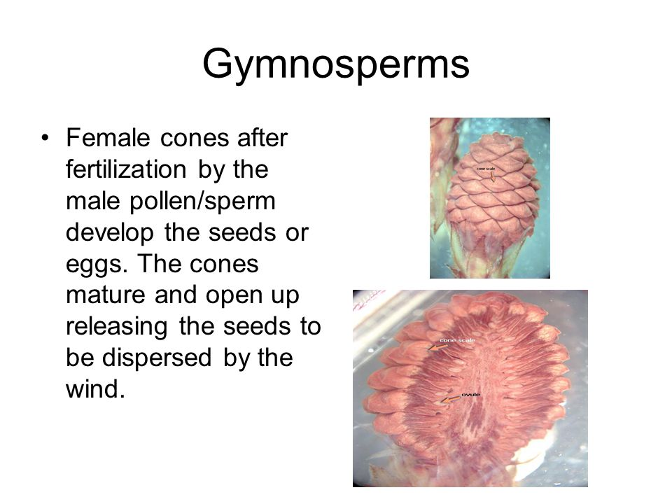 Gymnosperms Female cones after fertilization by the male pollen/sperm develop the seeds or eggs.