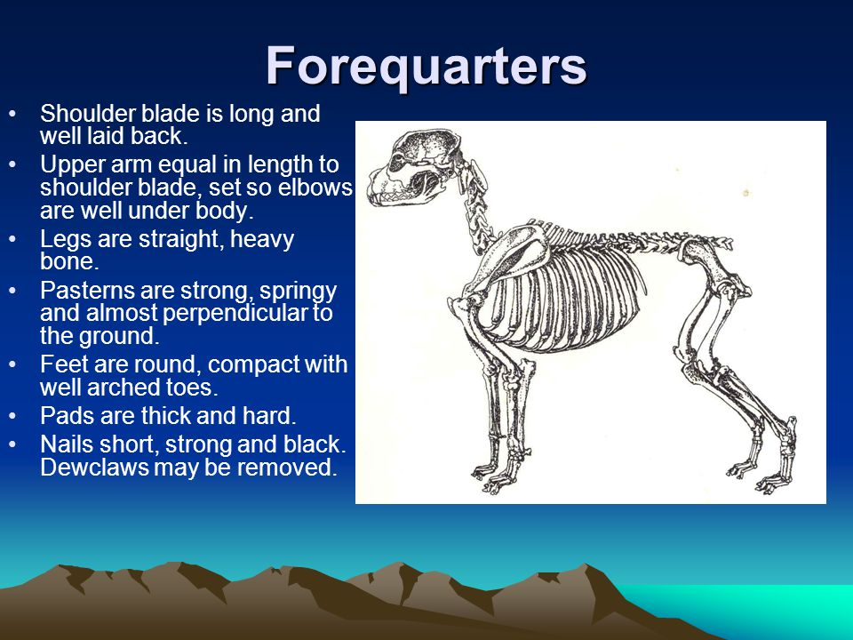 Forequarters Shoulder blade is long and well laid back.