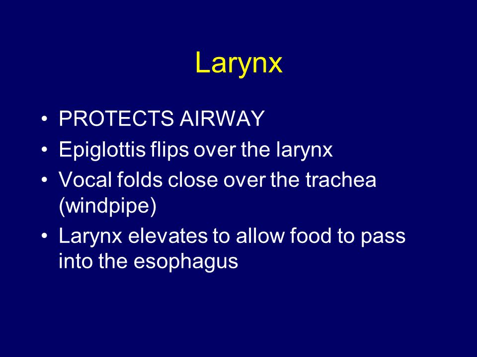 Larynx PROTECTS AIRWAY Epiglottis flips over the larynx Vocal folds close over the trachea (windpipe) Larynx elevates to allow food to pass into the esophagus