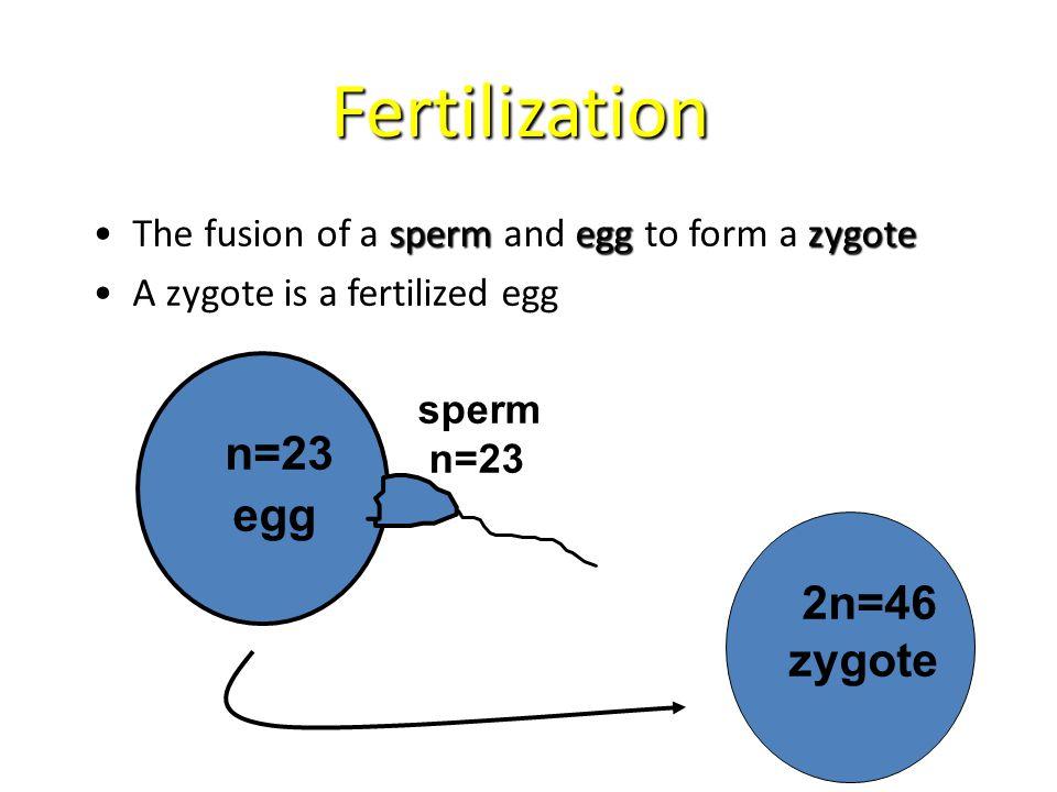 Fertilization spermeggzygoteThe fusion of a sperm and egg to form a zygote A zygote is a fertilized egg n=23 egg sperm n=23 2n=46 zygote