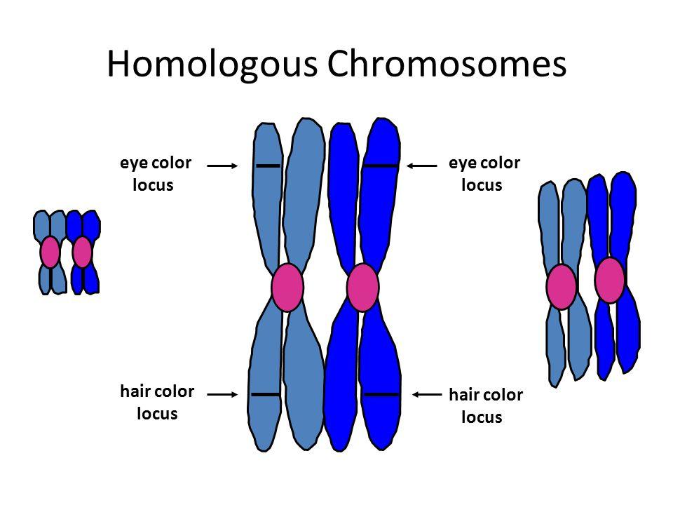 Homologous Chromosomes eye color locus eye color locus hair color locus hair color locus