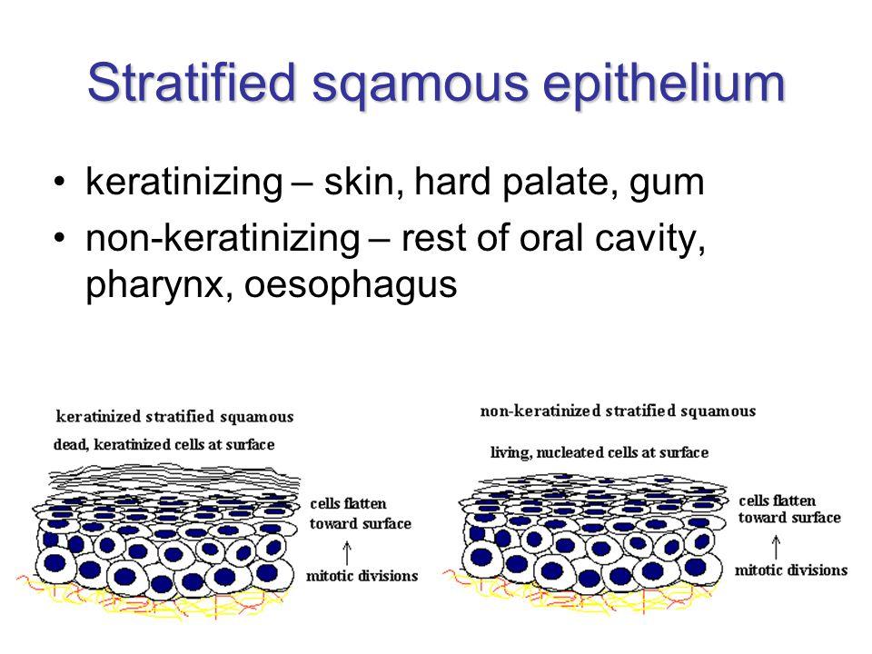 Stratified sqamous epithelium keratinizing – skin, hard palate, gum non-keratinizing – rest of oral cavity, pharynx, oesophagus