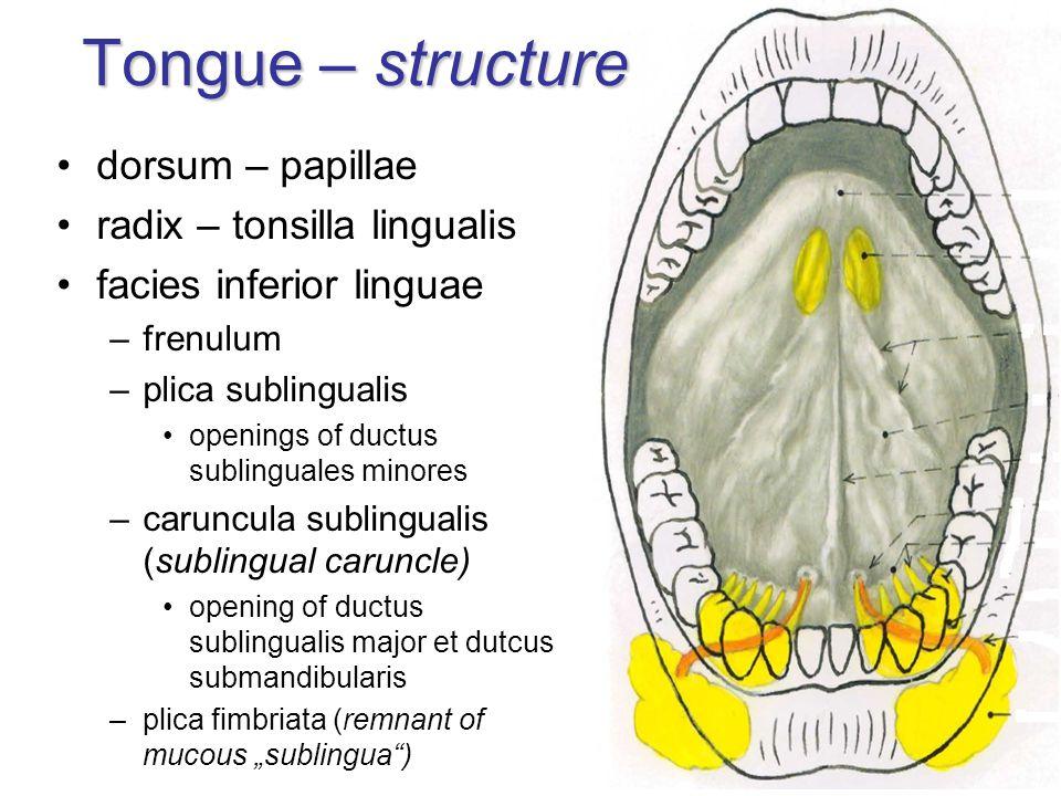 Tongue – structure dorsum – papillae radix – tonsilla lingualis facies inferior linguae –frenulum –plica sublingualis openings of ductus sublinguales