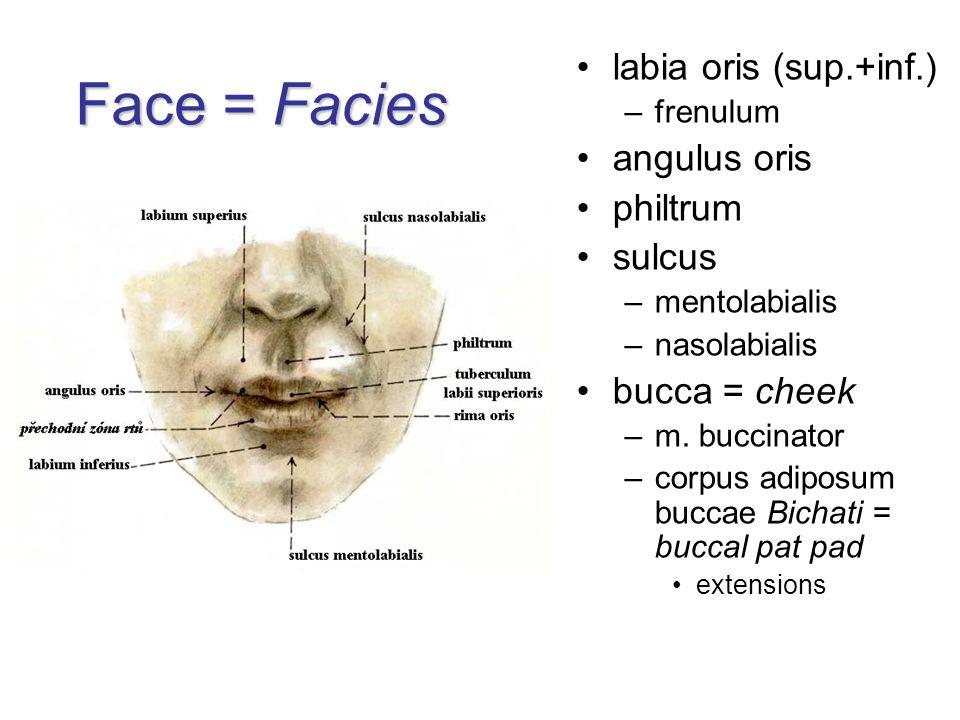 Face = Facies labia oris (sup.+inf.) –frenulum angulus oris philtrum sulcus –mentolabialis –nasolabialis bucca = cheek –m. buccinator –corpus adiposum