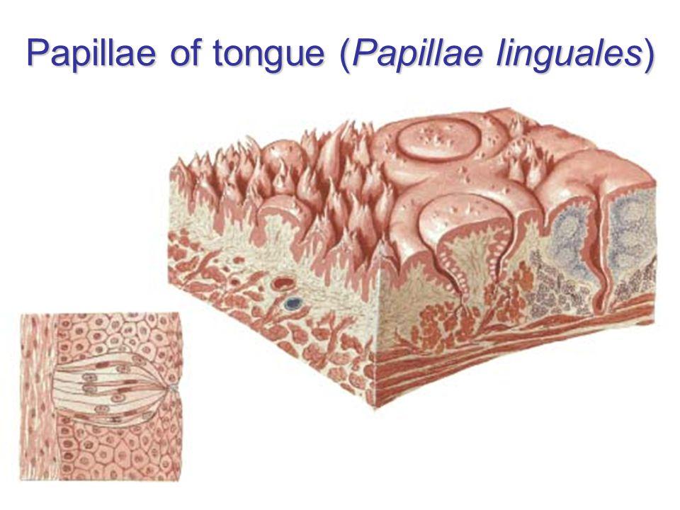 Papillae of tongue (Papillae linguales)
