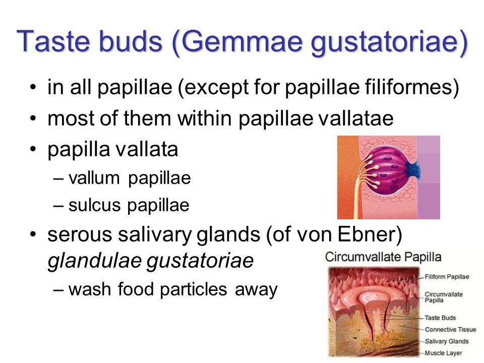 Taste buds (Gemmae gustatoriae) in all papillae (except for papillae filiformes) most of them within papillae vallatae papilla vallata –vallum papilla