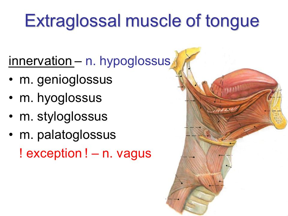 Extraglossal muscle of tongue innervation – n. hypoglossus m. genioglossus m. hyoglossus m. styloglossus m. palatoglossus ! exception ! – n. vagus