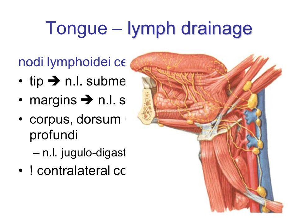 lymph drainage Tongue – lymph drainage nodi lymphoidei cervicales profundi tip  n.l. submentales margins  n.l. submandibulares corpus, dorsum  n.l.