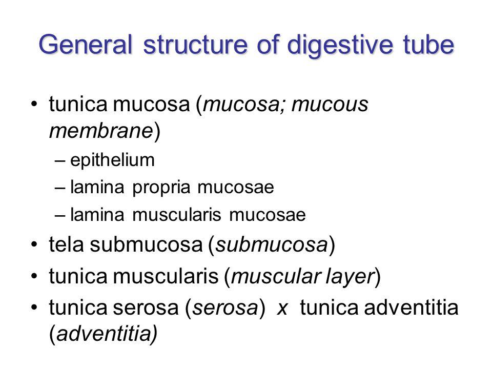 General structure of digestive tube tunica mucosa (mucosa; mucous membrane) –epithelium –lamina propria mucosae –lamina muscularis mucosae tela submuc