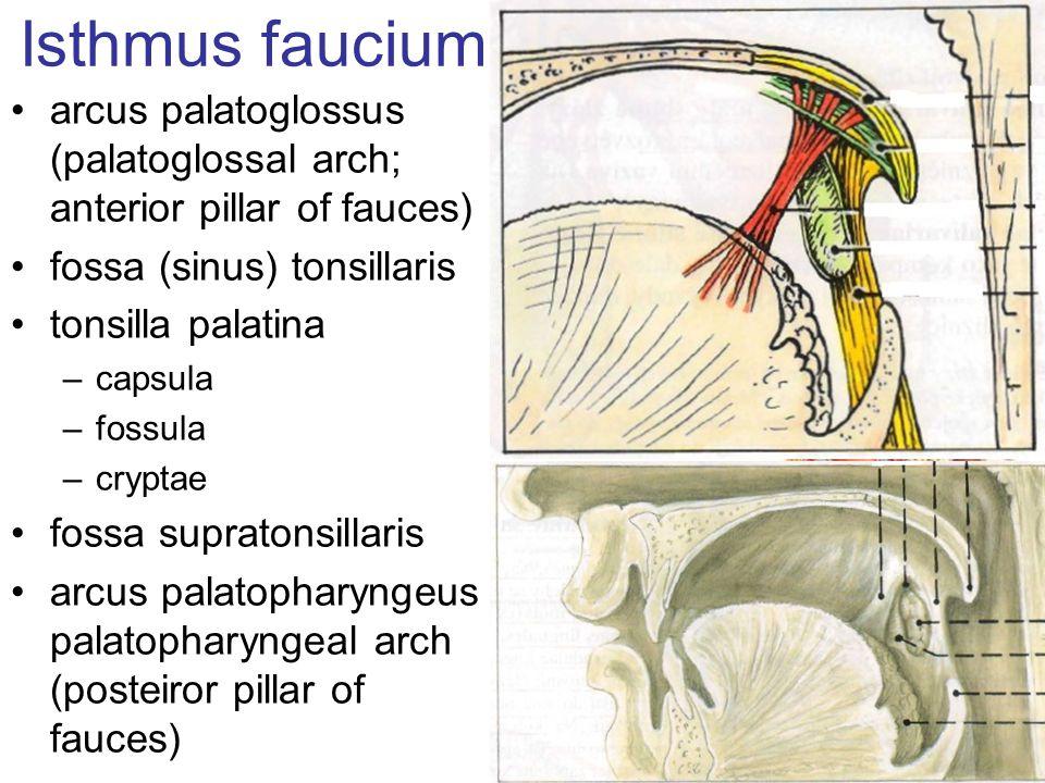 Isthmus faucium arcus palatoglossus (palatoglossal arch; anterior pillar of fauces) fossa (sinus) tonsillaris tonsilla palatina –capsula –fossula –cry