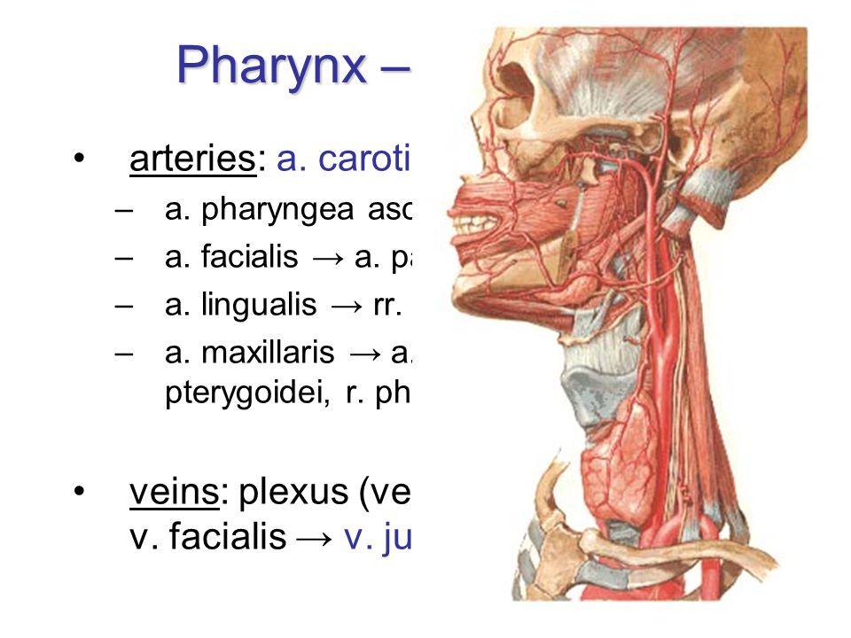 Pharynx – blood supply arteries: a. carotis externa → –a. pharyngea ascendens –a. facialis → a. palatina ascendens –a. lingualis → rr. dorsales lingua