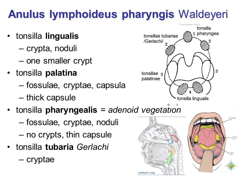 Anulus lymphoideus pharyngis Waldeyeri tonsilla lingualis –crypta, noduli –one smaller crypt tonsilla palatina –fossulae, cryptae, capsula –thick caps
