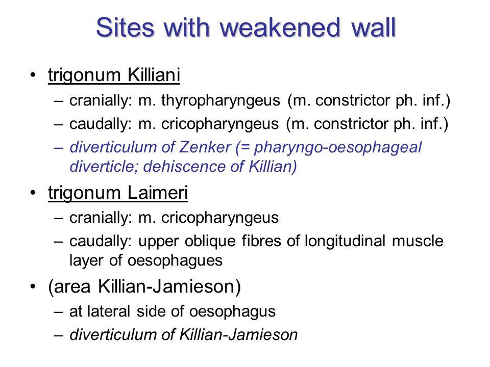 Sites with weakened wall trigonum Killiani –cranially: m. thyropharyngeus (m. constrictor ph. inf.) –caudally: m. cricopharyngeus (m. constrictor ph.