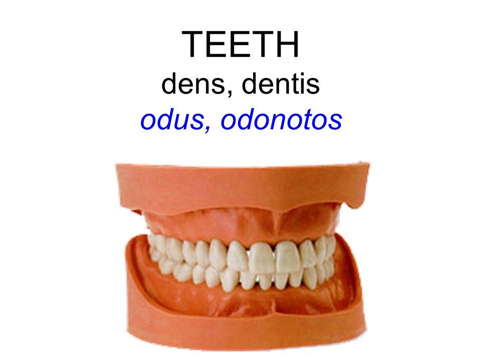 TEETH dens, dentis odus, odonotos