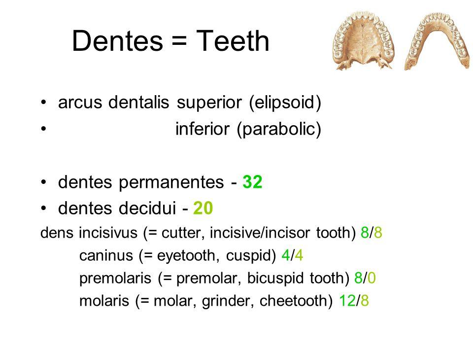 Dentes = Teeth arcus dentalis superior (elipsoid) inferior (parabolic) dentes permanentes - 32 dentes decidui - 20 dens incisivus (= cutter, incisive/