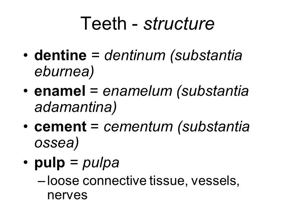Teeth - structure dentine = dentinum (substantia eburnea) enamel = enamelum (substantia adamantina) cement = cementum (substantia ossea) pulp = pulpa