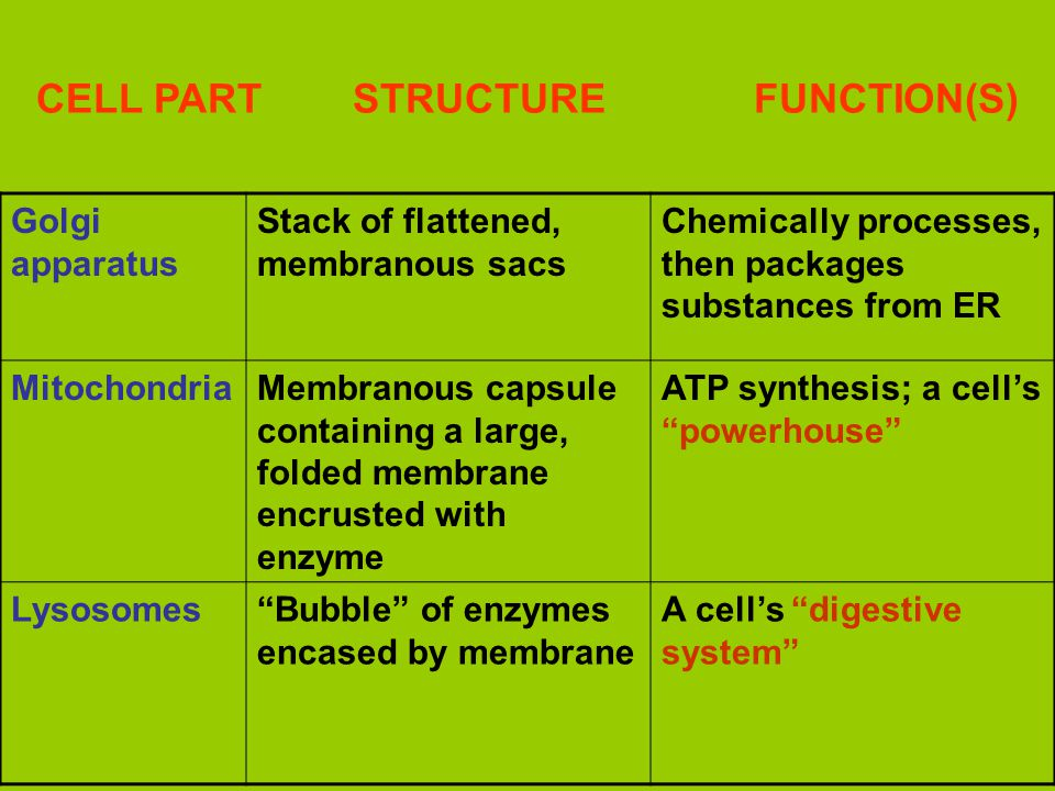 CELL PART STRUCTURE FUNCTION(S) Golgi apparatus Stack of flattened, membranous sacs Chemically processes, then packages substances from ER MitochondriaMembranous capsule containing a large, folded membrane encrusted with enzyme ATP synthesis; a cell's powerhouse Lysosomes Bubble of enzymes encased by membrane A cell's digestive system