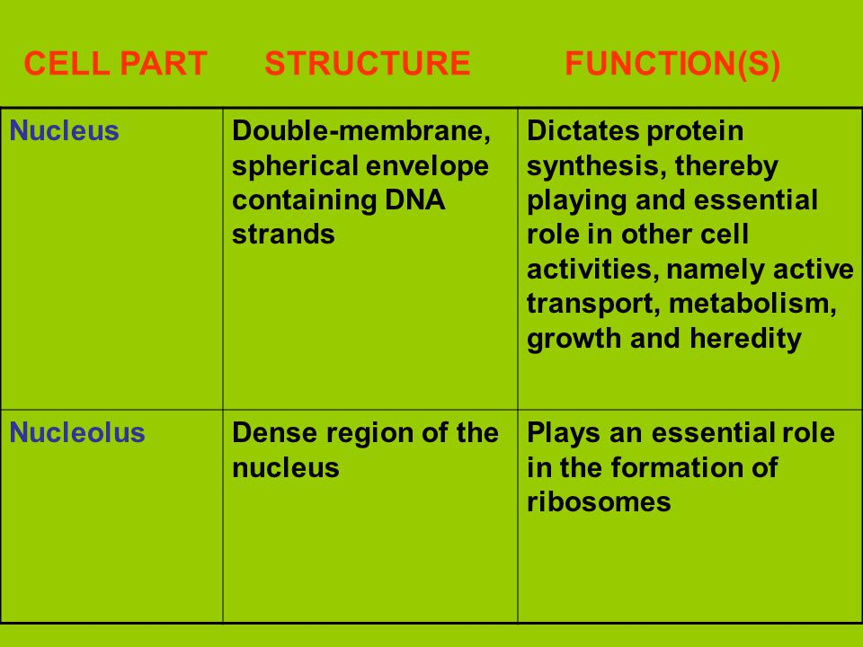 CELL PART STRUCTURE FUNCTION(S) NucleusDouble-membrane, spherical envelope containing DNA strands Dictates protein synthesis, thereby playing and essential role in other cell activities, namely active transport, metabolism, growth and heredity NucleolusDense region of the nucleus Plays an essential role in the formation of ribosomes