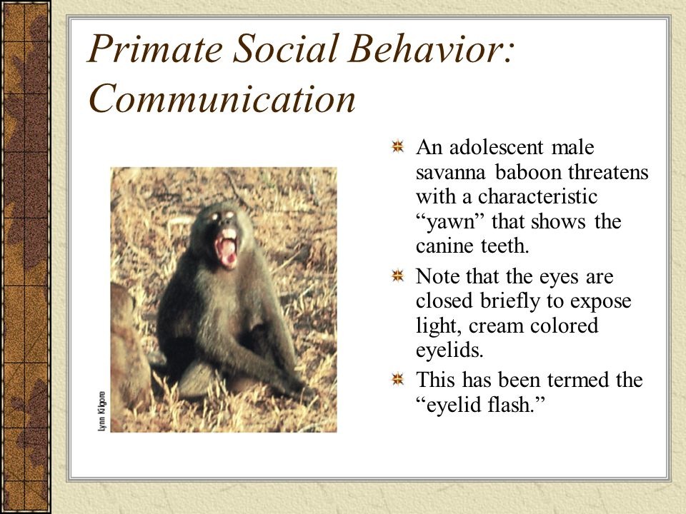 Primate Social Behavior: Communication An adolescent male savanna baboon threatens with a characteristic yawn that shows the canine teeth.