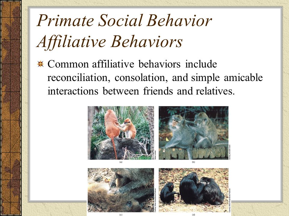 Primate Social Behavior Affiliative Behaviors Common affiliative behaviors include reconciliation, consolation, and simple amicable interactions between friends and relatives.