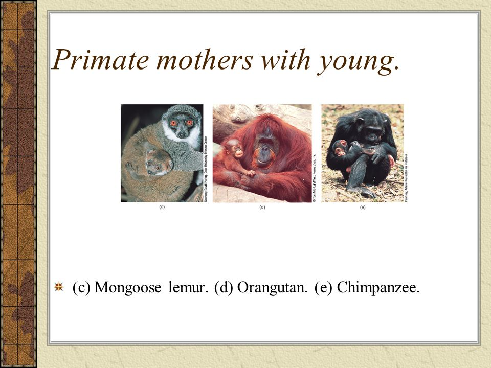 Primate mothers with young. (c) Mongoose lemur. (d) Orangutan. (e) Chimpanzee.