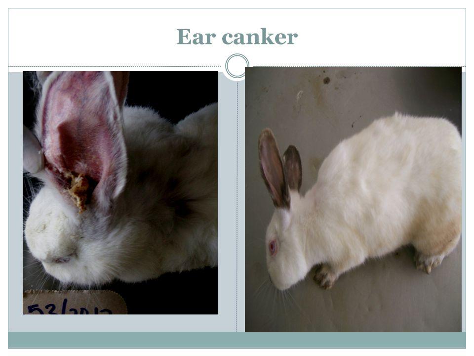Ear canker